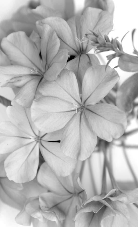 blomma blyertsblomman arkivfoto