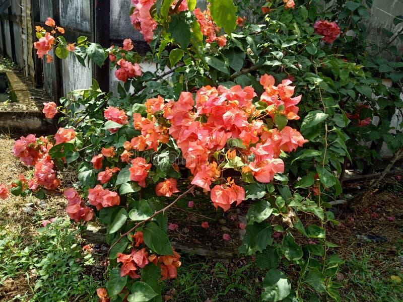 blomma bougainvillea Magentaf?rgade bougainvilleablommor Bougainvilleablommor som en bakgrund vektor f?r detaljerad teckning f?r  fotografering för bildbyråer