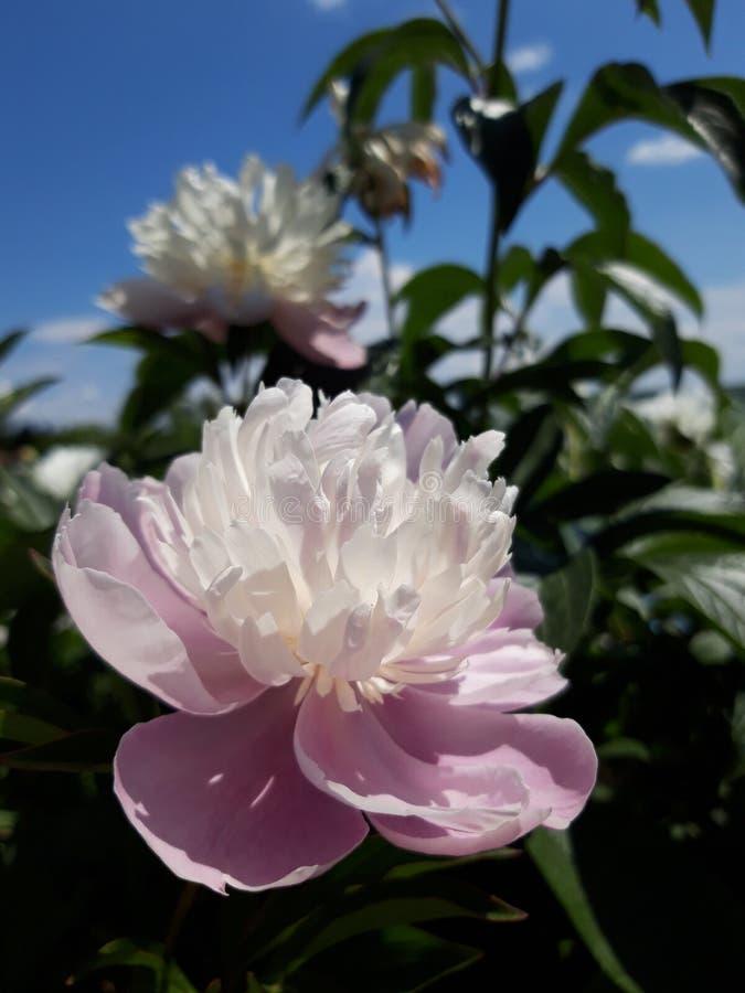 Blomma busken av den vita pionen royaltyfri fotografi