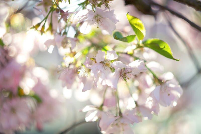 blomma Cherry royaltyfri foto