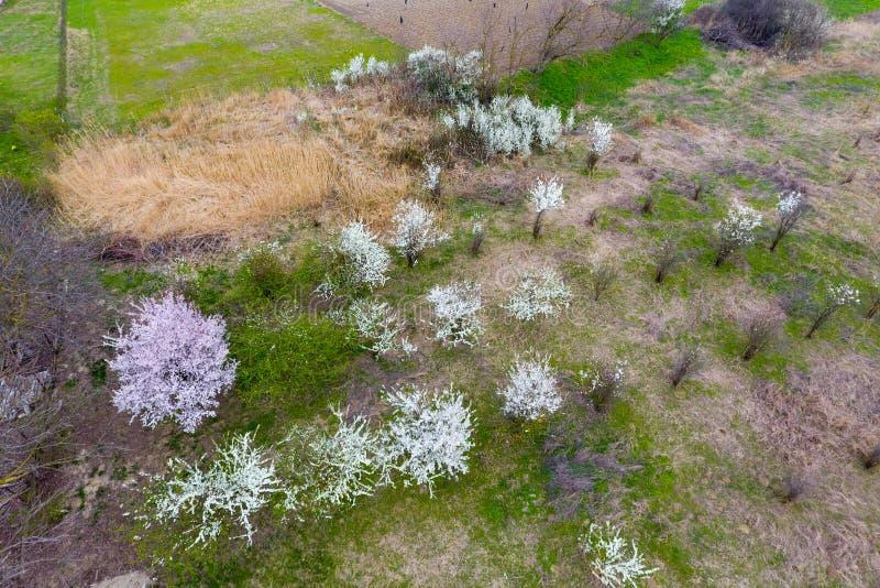Blomma Cherry Plum Odlingsbar trädgård, unga träd Vita blommor av plommontr?d p? filialerna av ett tr?d arbeta i tr?dg?rden t?ta  royaltyfria bilder