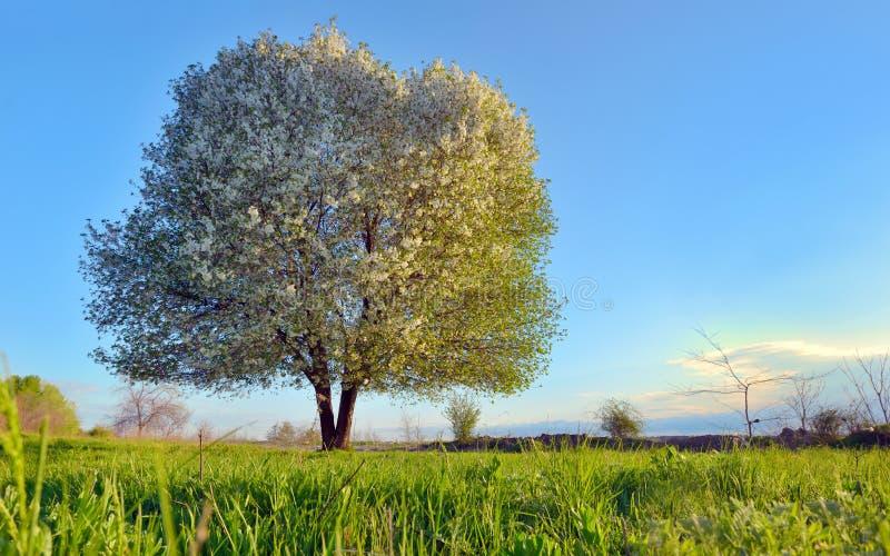 blomma Cherrytree arkivfoton