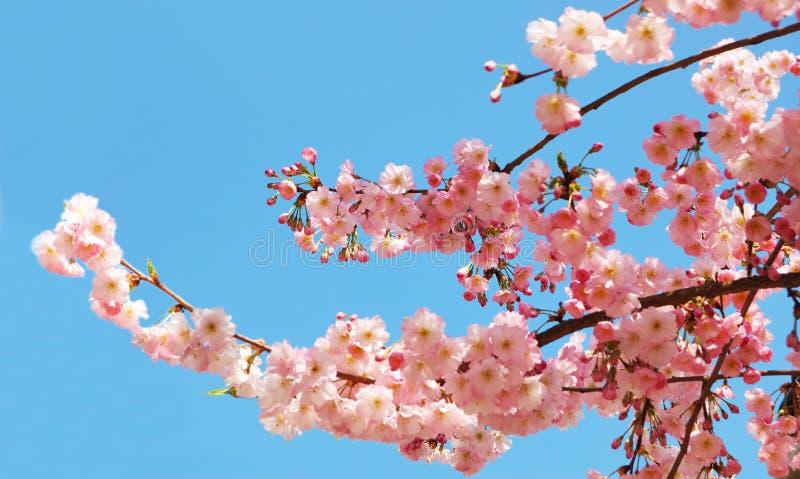 blomma Cherrytree royaltyfri bild