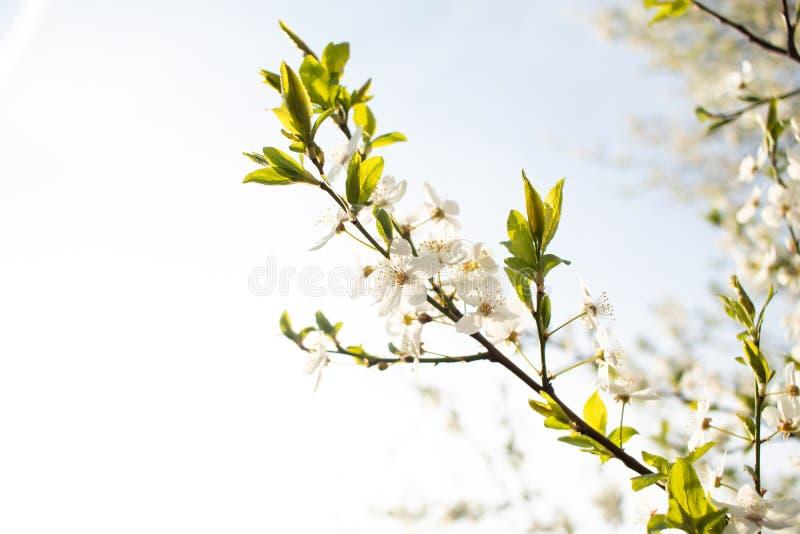 blomma Cherrytree yellow f?r fj?der f?r ?ng f?r bakgrundsmaskrosor full royaltyfri foto