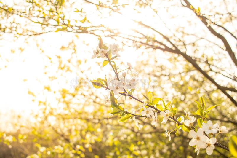 blomma Cherrytree yellow f?r fj?der f?r ?ng f?r bakgrundsmaskrosor full arkivfoton