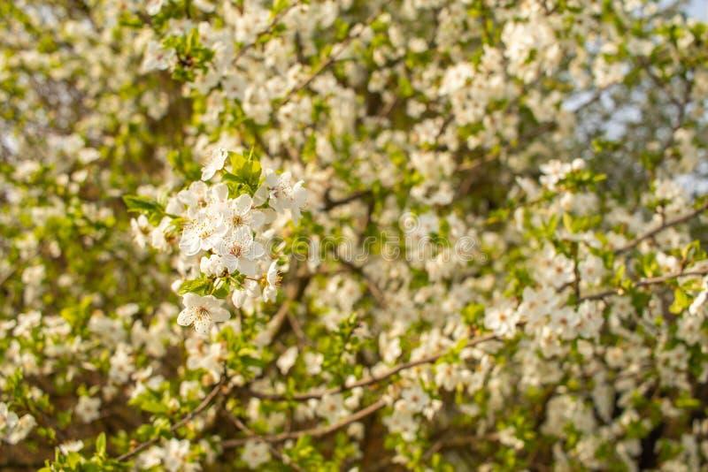 blomma Cherrytree yellow f?r fj?der f?r ?ng f?r bakgrundsmaskrosor full royaltyfri fotografi