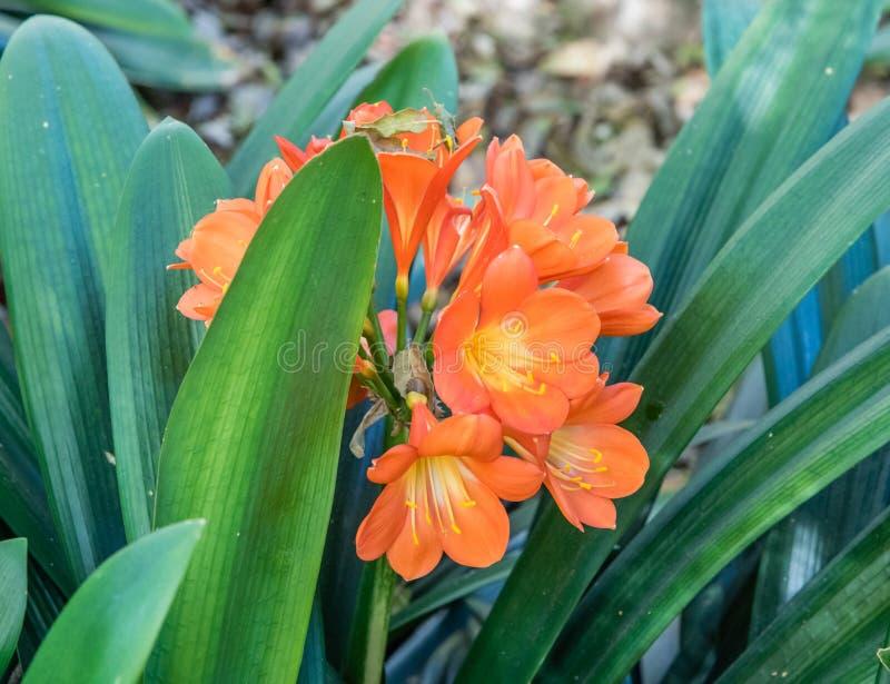 Blomma cliviaväxten i vår arkivbilder
