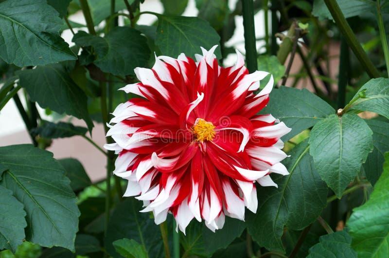 Blomma - dahlia arkivfoton