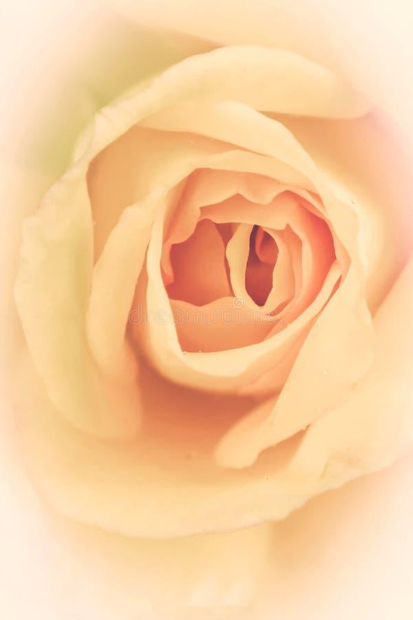 Blomma den delikata kräm- rosen abstrakt bakgrundsnatur royaltyfri fotografi