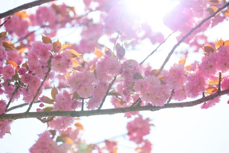 Blomma den dubbla körsbärsröda blomningen förgrena sig och solsken arkivbild