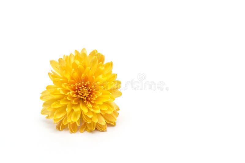 Blomma den gula krysantemumet på en vit bakgrund, isolaten, närbilden, guld--tusenskönan som är härlig royaltyfri fotografi