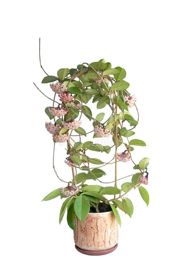 Blomma den Hoya camosaen royaltyfri foto
