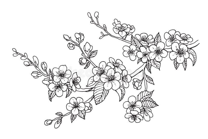 Blomma den körsbärsröda filialen, vektorillustration Sakura isolerade linjen skissar på vit bakgrund stock illustrationer