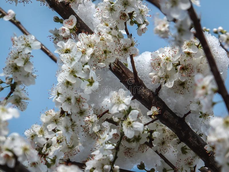 Blomma den körsbärsröda plommonet avverka under snöfallet Closeup av vita blommor av ett träd för körsbärsröd plommon som täckas  royaltyfria bilder