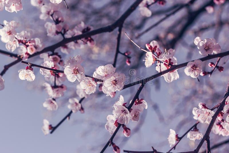 Blomma den k?rsb?rsr?da Japan f?r filial p? v?ren tr?dg?rden p? den gifta sig ceremonin fotografering för bildbyråer