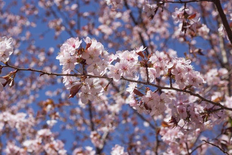 Blomma den k?rsb?rsr?da Japan f?r filial p? v?ren tr?dg?rden p? den gifta sig ceremonin royaltyfri bild