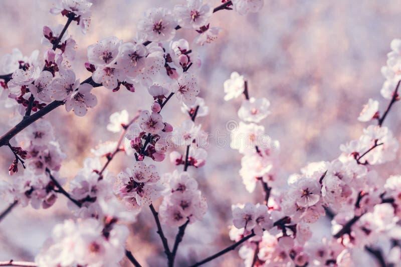 Blomma den k?rsb?rsr?da Japan f?r filial p? v?ren tr?dg?rden p? den gifta sig ceremonin arkivfoton