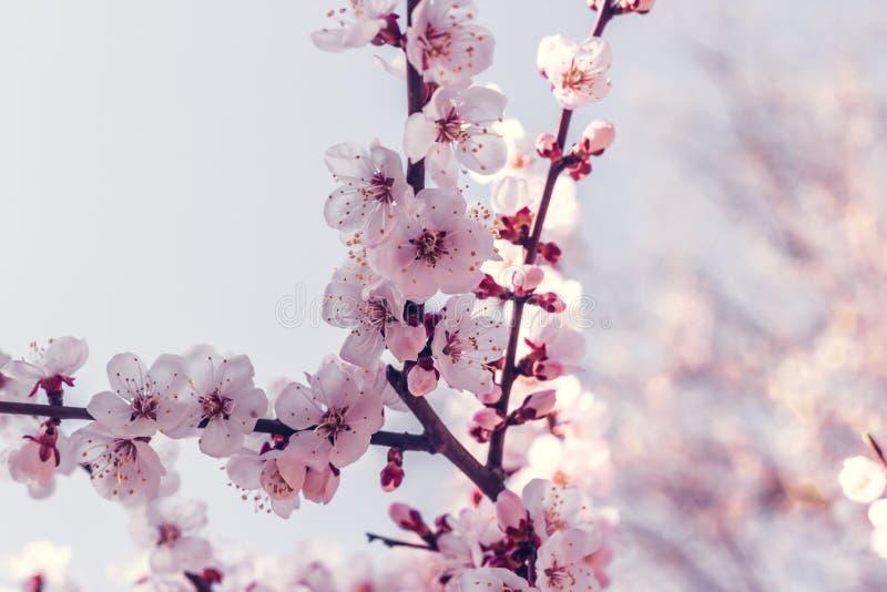 Blomma den k?rsb?rsr?da Japan f?r filial p? v?ren tr?dg?rden p? den gifta sig ceremonin royaltyfria bilder