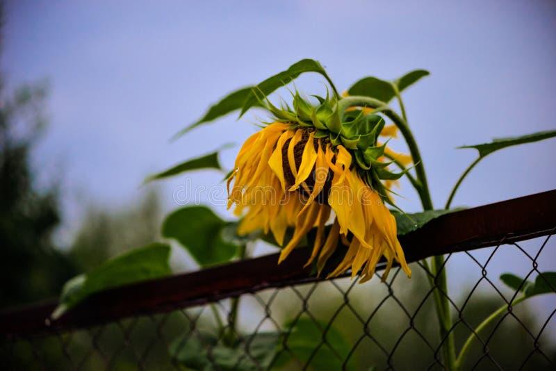 Blomma den ljusa solrosen mot den suddiga himlen för afton, staket Härlig september växt som är åkerbruk royaltyfria foton