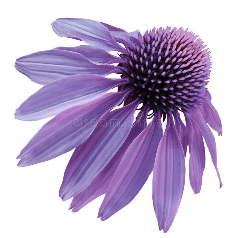 Blomma den purpurfärgade kamomillen på en vit isolerad bakgrund med den snabba banan Tusenskönalilor för design Closeup inga skug royaltyfria bilder