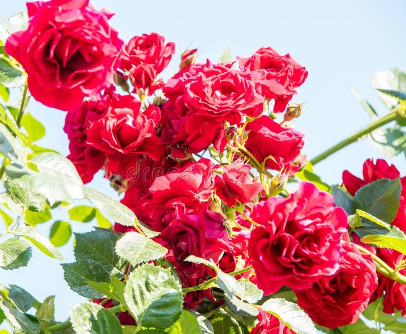 Blomma den rosa busken i mitten av semesterortstaden av Pomorie, Bulgarien fotografering för bildbyråer