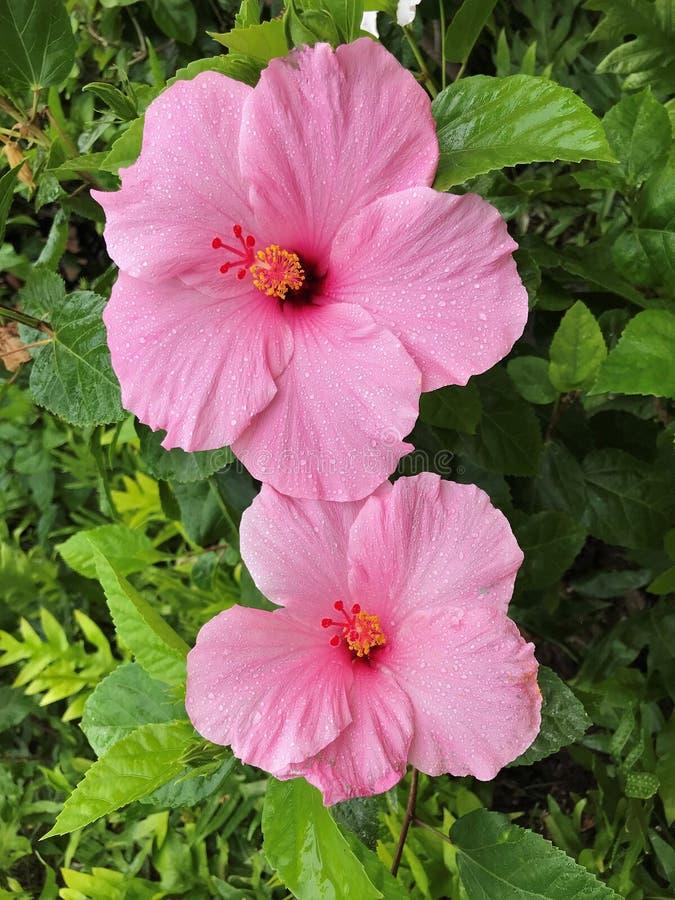 Blomma den rosa hibiskusblomman med regndroppar som v?xer i en tr?dg?rd royaltyfri fotografi