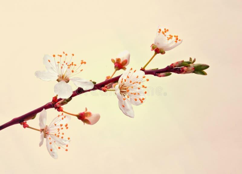 Blomma den sakura filialen. royaltyfria foton