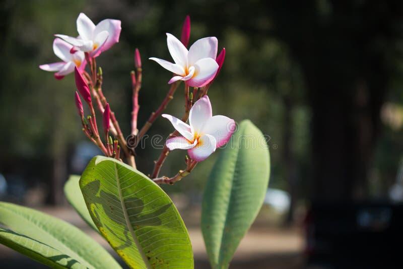 Blomma den tropiska blomman, naturbakgrund, Thailand royaltyfri foto