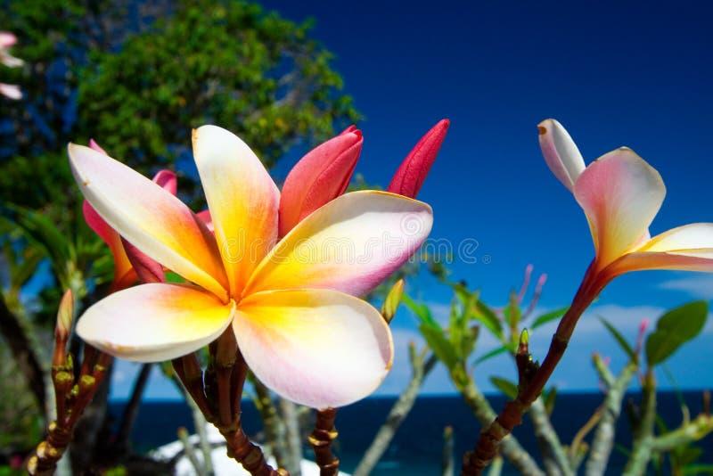 blomma den tropiska frangipanien fotografering för bildbyråer