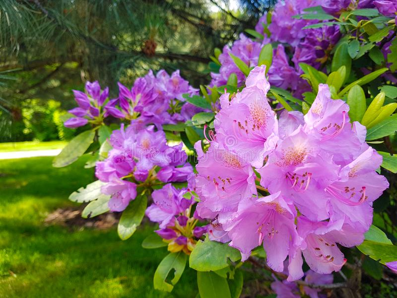 Blomma den violetta blommarhododendronnärbilden i botaniska trädgården H?rlig bakgrund royaltyfria foton