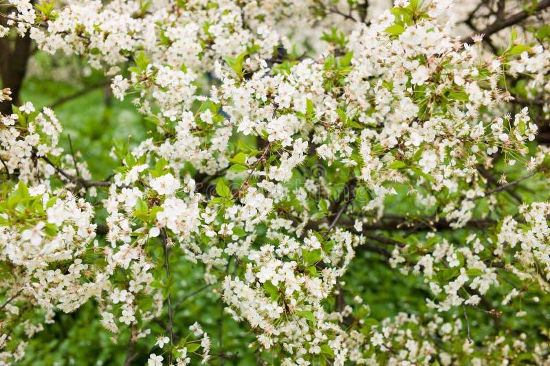 Blomma den vita körsbäret i en grön trädgård arkivfoton