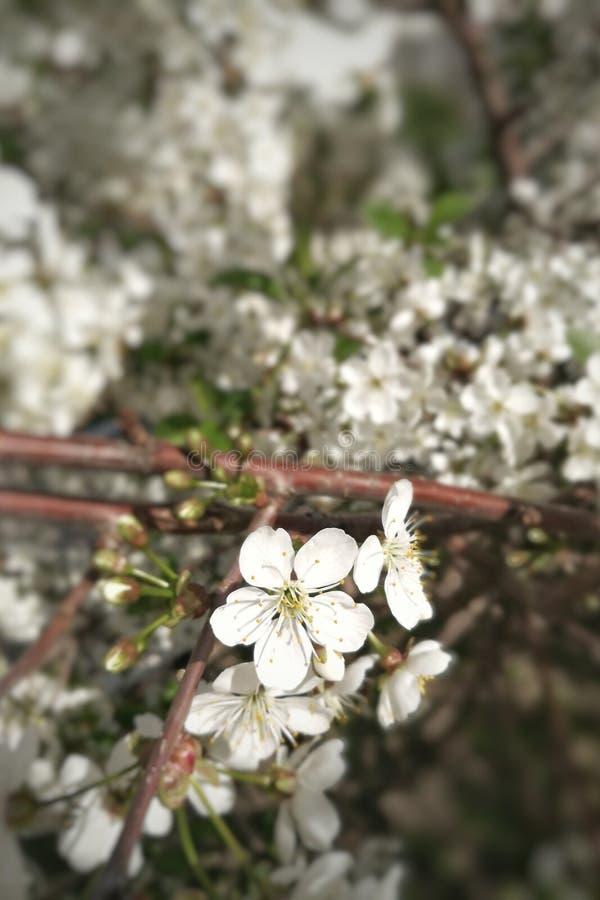 Blomma det körsbärsröda äpplet, persika på en filial royaltyfria foton