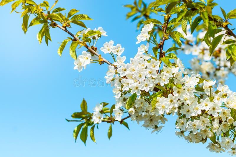 Blomma det körsbärsröda trädet, mycket små vita blommor mot den blåa himlen arkivfoton