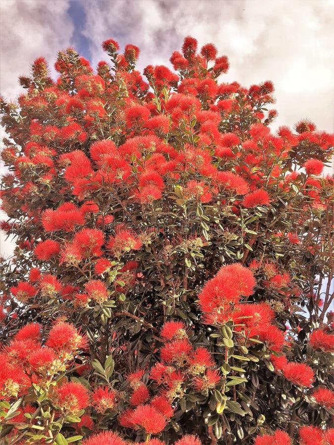 Blomma det Pohutakawa trädet royaltyfri foto