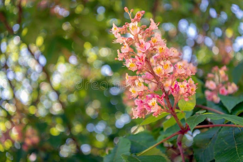 Blomma det röda häst-kastanj trädet från slut royaltyfri fotografi
