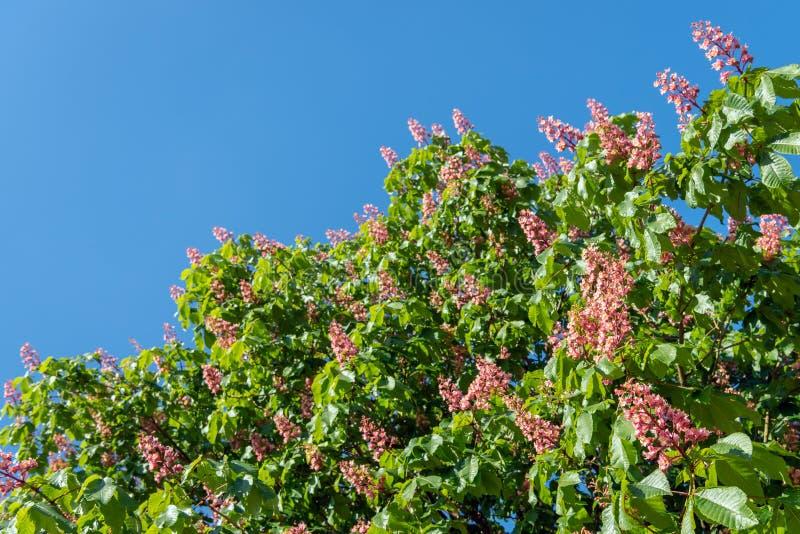 Blomma det röda häst-kastanj trädet mot en blå himmel royaltyfria bilder