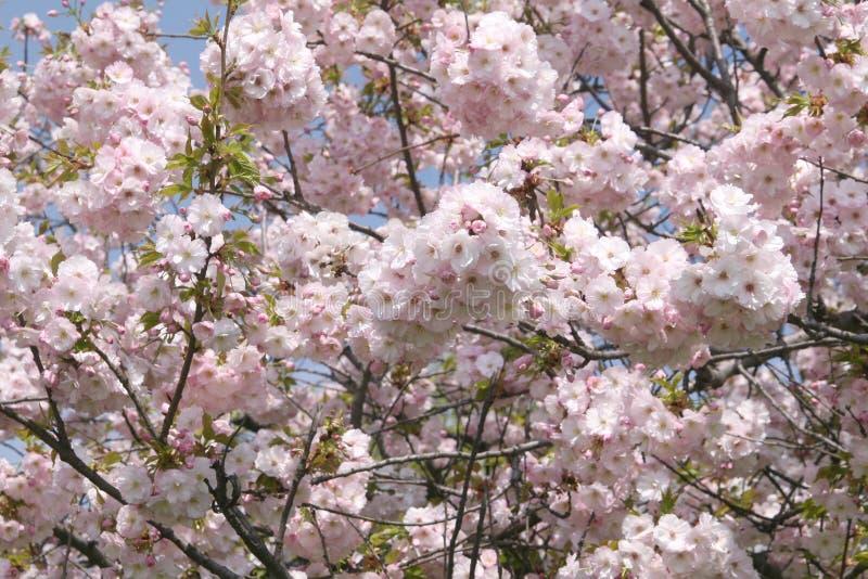 Blomma det rosa sacuraträdet i vår Körsbärsröd blomning Sacura körsbär-träd Sacura blommor på blå himmel Sakura festival fotografering för bildbyråer