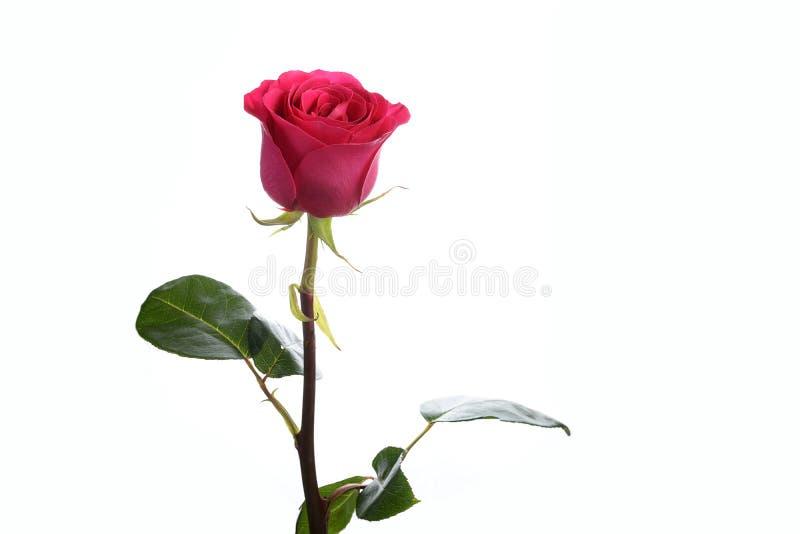 Blomma en rosrosa färg Floyd royaltyfri bild