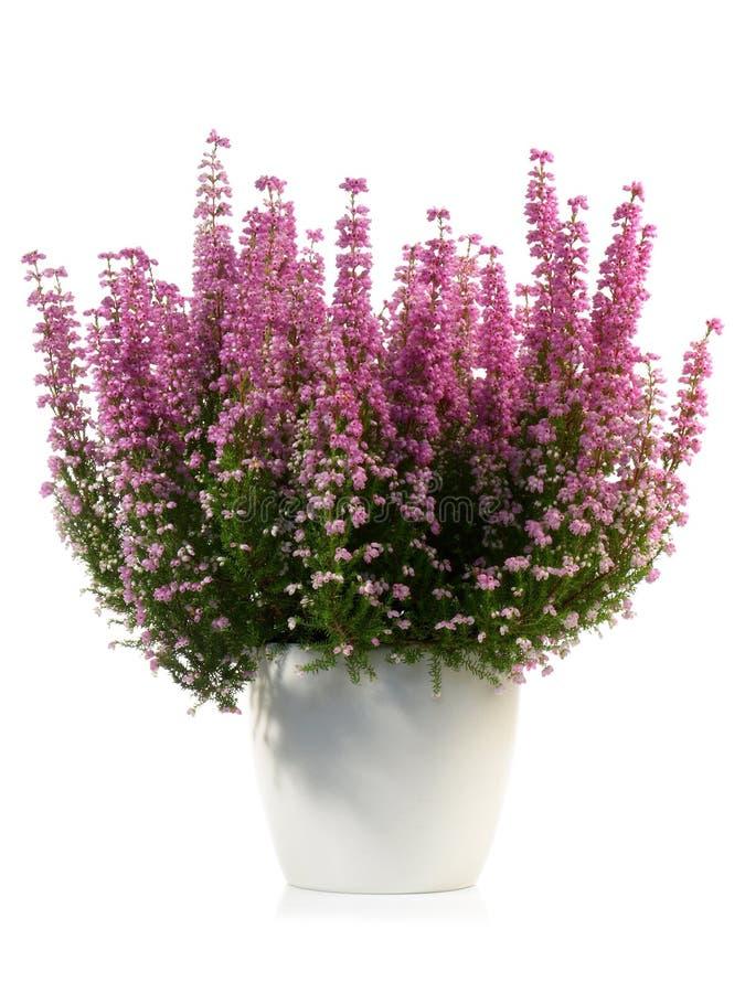 Blomma Erica Gracialis arkivbild