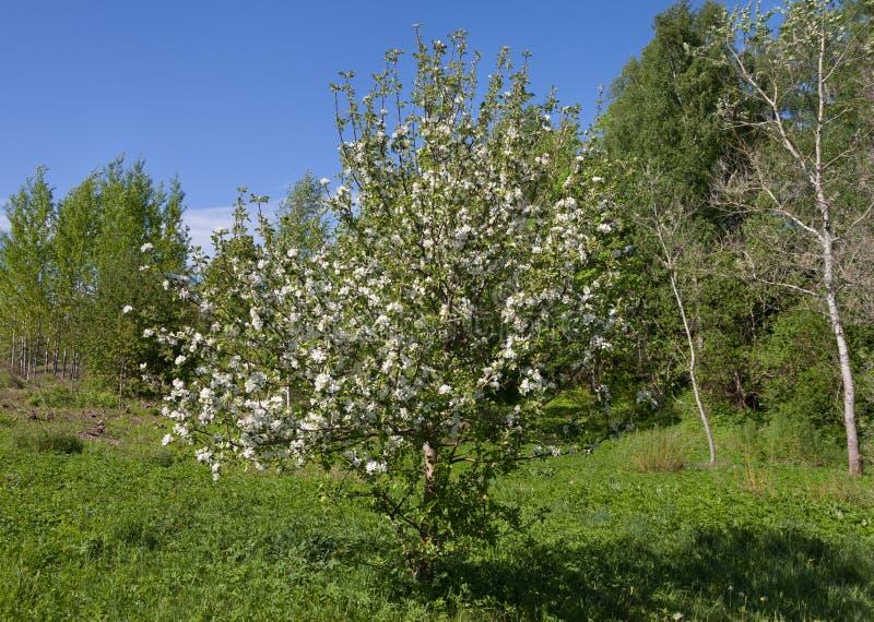Blomma ett äppleträd i en skog arkivfoto