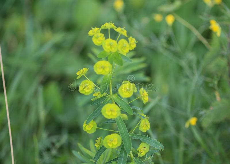 Blomma Euphorbiacyparissias, cypressspurgeväxten i vår royaltyfria bilder