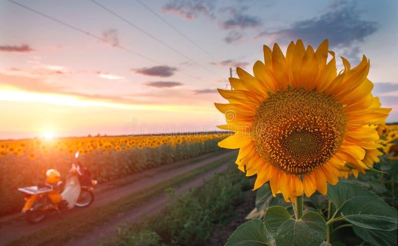 Blomma fältet av solrosor på aftonsolnedgånghimmel, jordbruks- bakgrund som brukar bygd royaltyfri foto