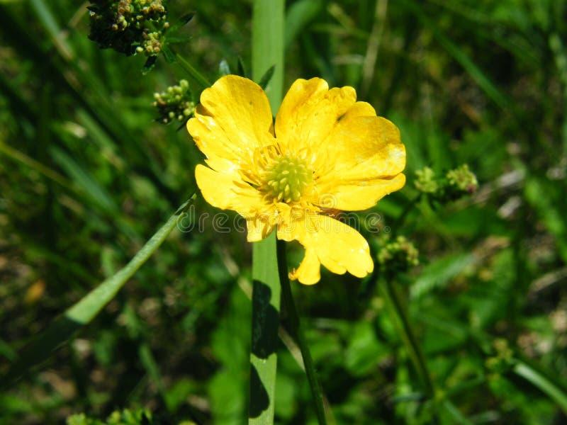 Blomma för äng för Ranunculusbulbosus gemensam fotografering för bildbyråer