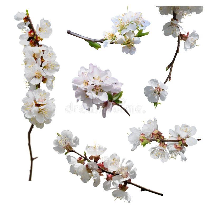 blomma för aprikos Närbild isolerat Vår ställ in är en blomstra aprikos arkivbilder