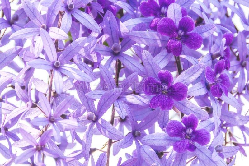 Blomma för Beautyful purpurfärgad kransvinranka på suddig bakgrund royaltyfri foto