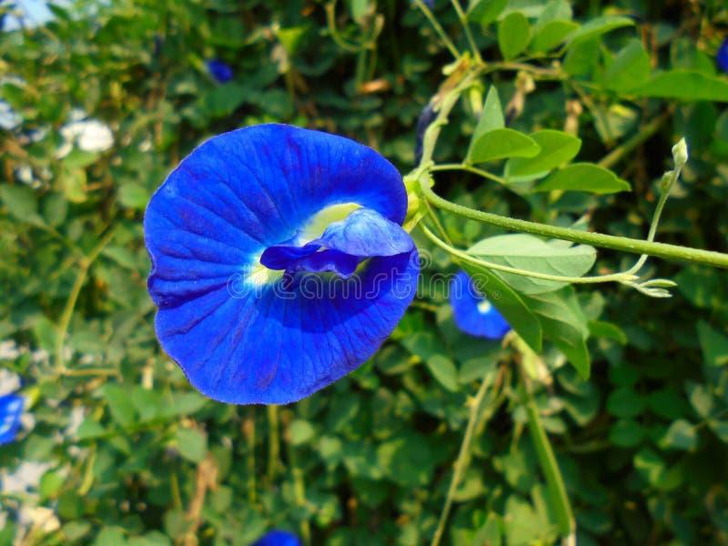 Blomma för blå ärta royaltyfri fotografi