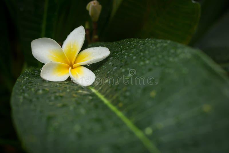 Blomma för blomma för brunnsort för vit frangipaniplumeria tropiskt arkivfoto