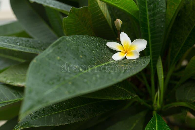 Blomma för blomma för brunnsort för vit frangipaniplumeria tropiskt fotografering för bildbyråer