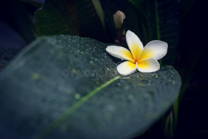 Blomma för blomma för brunnsort för vit frangipaniplumeria tropiskt royaltyfria foton