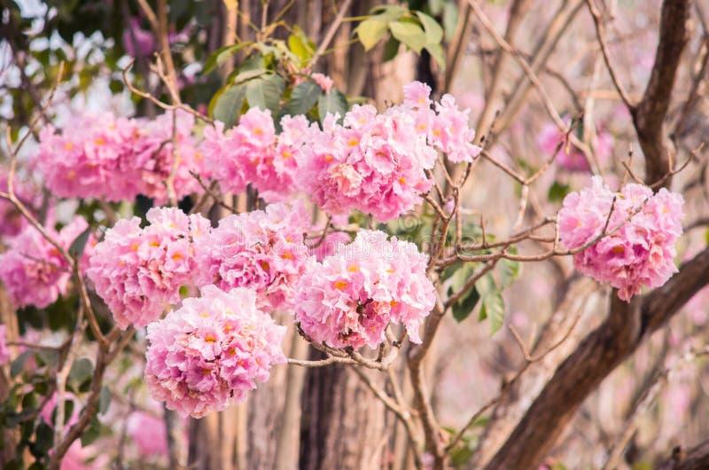 Blomma för blomma för träd för rosa färgtrumpet (tabebuia) arkivbilder